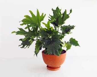 Terra-Cotta Planter: Medium