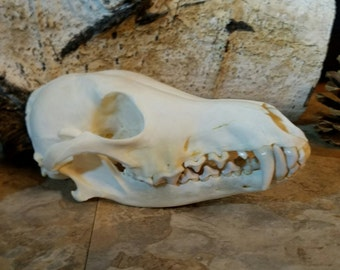 Large Real Beautiful Large Coyote Skull