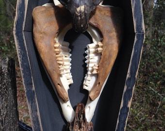 Vanitas Display Series 14 - Natural Stained Woodchuck & Rabbit Skull and Goat Jawbones in Reclaimed Wood Coffin Display