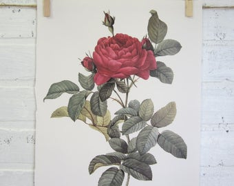 Redoutes Roses Book Page Plate Botanical Wall Art Burgundy Rosa Gallica Pontiana Rose