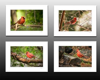 Set of 4 Cardinal 5x7 Small Matted Prints,  Bird Photography Collection, Each fit a 5x7 inch frame, art for cubicles