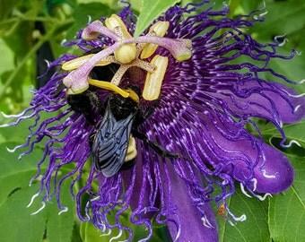 "Passion Flower Purple Maypop/Passiflora Incarnata Vine ""Passion Of The Christ"" FRAGRANT"