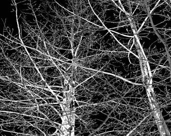 Winter Aspens in Black and White, Trees Photo Square 12x12 or 16x16