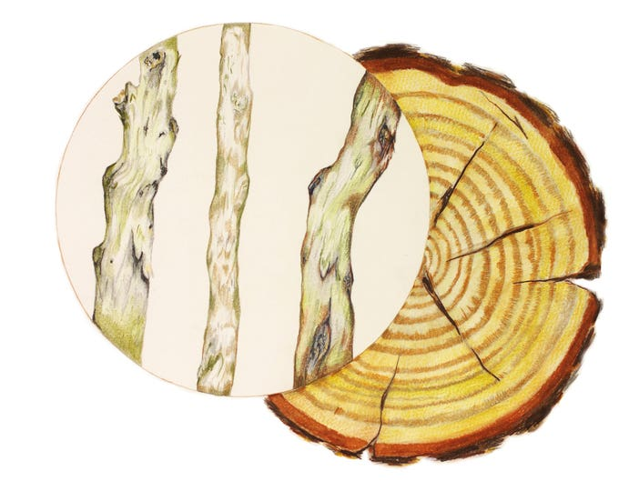 Feng Shui Wood Element, Wood Feng Shui Home Decor, Wood Dried and Cut Through, Feng Shui Wood, Art Print of Drawing, Growth Rings Art Print