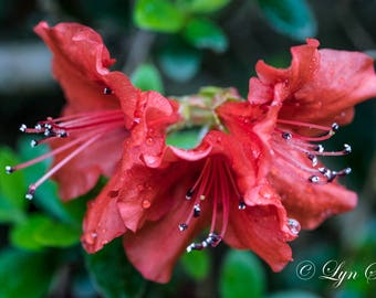 Azalea Flower -  Nature, landscape, red, fine art, azalea bush, floral, art, garden, rustic, home decor, wall art, macro, North Carolina