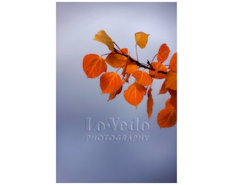 Autumn Storm, Aspen Leaves, Fall Colors, Autumn Decor, Rocky Mountains, Nature Photo, Orange, Steel Grey Gray