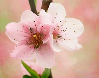 Peach Blossom 3, Peach, Flower Photography, Floral Photography, Photography, Fine Art Photography, Nature, Garden, Botanical