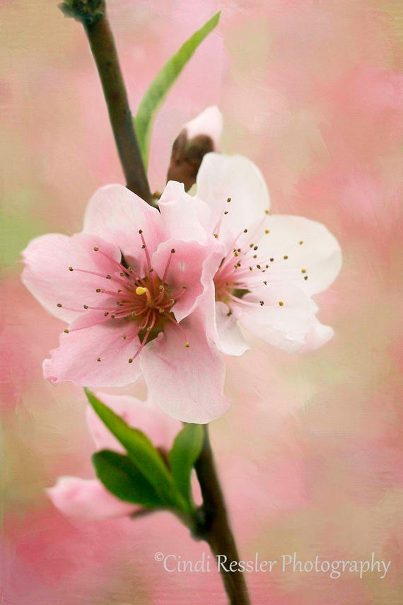 Photo, Peach Blossom 3, Peach, Flower, Floral, Photography, Fine Art, Nature Lover, Garden, Botanical, Blossom, Living Room Decor, Gift
