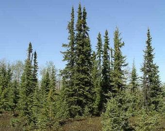 Black Spruce Tree Seeds, Picea mariana - 25 Seeds