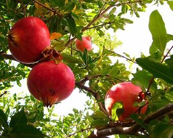 Pomegranate Tree Seeds, Punica granatum - 25 Seeds
