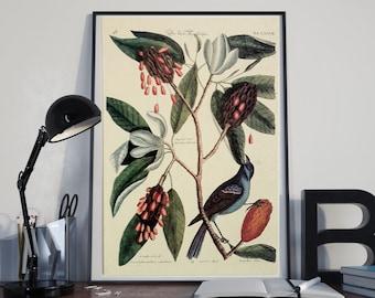Catesby Bird Print  Bird Art, Blue Grosbeak, Catesby Natural History Bird Picture, bird nursery wall decor Gnosis Picture Archive