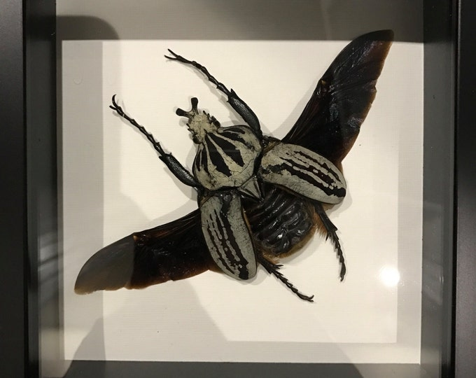 GIANT real flower beetle taxidermy display!