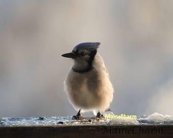 Baby Bluejay, Maine Photography, Bird Photography, Bird Art, Nature Photography