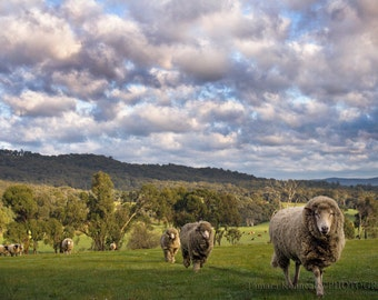 Lefty's Place Sheep -  Matted & Unmatted Prints. Various sizes
