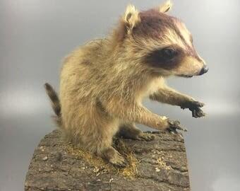 Taxidermy Baby Raccoon Full Body Mount on Log Vintage