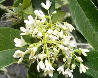 Fragrant Tea Olive ( osmanthus ) - Live Plant - Quart Pot