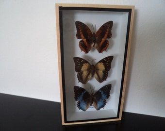 Real Butterflies Rare Family Nawab Butterflies Shadow Box Display Taxidermy Lepidoptera Entomology Zoology Free Shipping !!