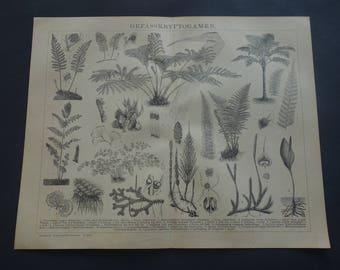 FERNS old botanical print of fern 1911 original German botany pictures about mos mosses floral vintage small poster illustration plant