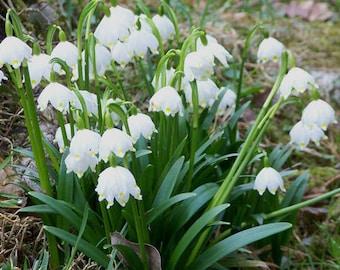 Spring Snowflake Flowers seeds,Leucojum vernum , Hardy Perennial