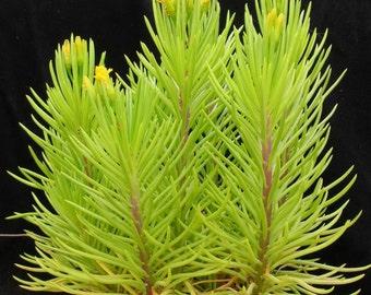 Senecio Barbertonicus Succulent Sempervivum Sedum Plant Lemon Bean Bush