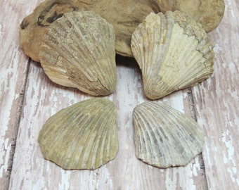 4 Cretaceous Period Fossil Scallops Neitha Texana with shells present ~ Paleontology, Geology, Beach Decor, Fossil Collecting