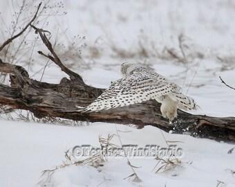 Flying Owl Print   Bird Hunting Photo   Raptor Flight   Earth Tones Home Office Decor   Snow White Owl   FeatherWindStudio   Owl Action Art