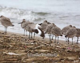 Willet Photo | Shorebird Photography | Cute Birds | Shoreline Wall Decor | Plover Peep Sandpiper | Bird Watcher Gift Idea | Shore Bird Print
