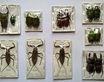 Wholesale 12 x Insect Mixed -  Taxidermy - Unmounted - Ready To Rehydrate - Artwork