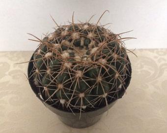 Small Cactus Plant. Notocactus Uebelmannianus. A beautiful and unique cactus.