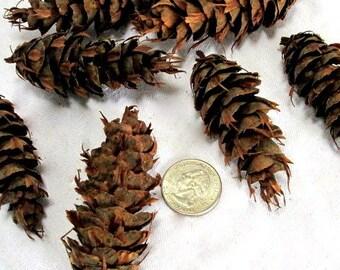 Douglas fir Pine Cones, Natural, Rustic, EBS00003