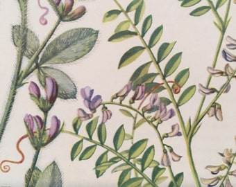 1950s vintage floral botanical print silver leaf and Carolina vetch