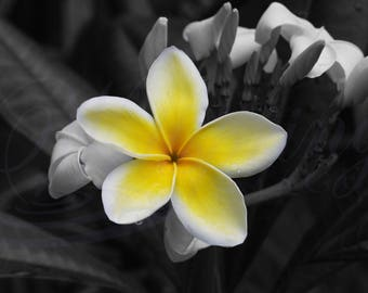Black and White with Selective Color Flowering Plumeria Blossom photography, Plumeria Yellow Flower art, Plumeria in bloom B&W picture