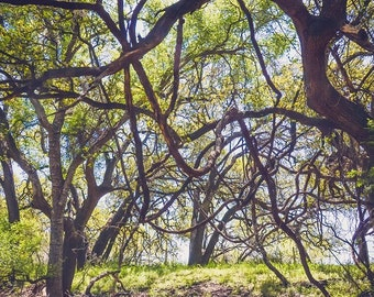 Texas Photography, Curling Tree Branches, Tree Meadow Photo Fine Art Landscape Nature Field, Curly Tree Branch Photo, Willow Tree Photo