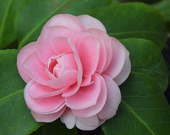 Pink Camellia, I think.  I took the picture because it's such an attractive soft pink flower.