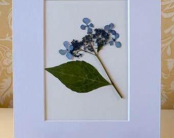 Real Pressed Flower Botanical Art Herbarium of Bluebird Hydrangea 8x10