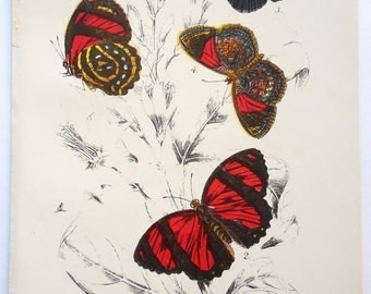 Butterfly Antique Lithograph. Colorful, 1896 Original Natural History. From Kirby's Lepidoptera. Catagrama Astarte and Haematera Pyramus