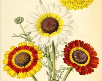 flowers-29779 - chrysanthemum carinatum tricolor white yellow red painted Daisy wildflower picture illustration old from ancient book image