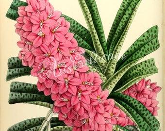 flowers-15088 - Saccolabium Ampullaceum Roseum, Ascocentrum ampullaceum pink orchid rosy digital vintage public domain picture image clipart