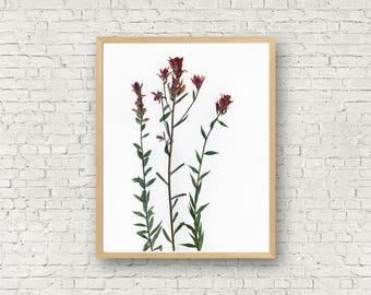 Indian Paintbrush - Red Wildflower Herbarium Botanical Print - Paint Brush Flower - Castilleja - Dried Flower Art - Floral Artwork - Pressed