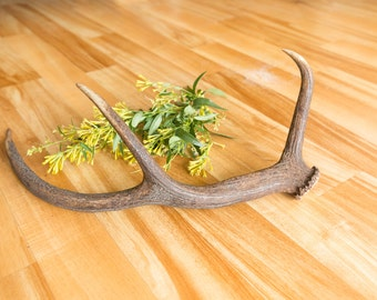 Deer Antler, DA14, Red Deer, Naturally Shed Real Antler, Stag, Home Decor, Wedding, Rustic, Boho, Bohemian, Taxidermy