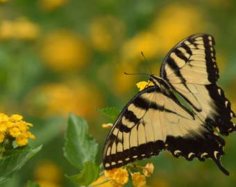 Swallowtail on Lantana, 1