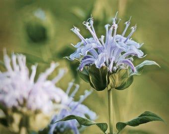 Wild Bergamot, Nature Photography, Wildflower Photo, Wall Art, Suitable for Framing, Natural Decor, Flower Photo, Purple Green, Office Art