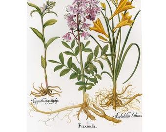 Besler Florilegium Flowers Print Book Plate SALE~~Buy 3, get 1 free