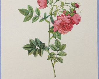 Redoute Botanical print, Pink rose print, Rosa Rafa Rossier Turneps, Pale pink rose Flower print, Pink rosebuds flowers, Wall decor