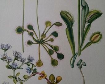 Venus flytrap, sundew, and stonecrop, antique botanical litho print, 1954