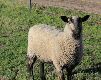 Organic BFL/Shetland Wool Roving