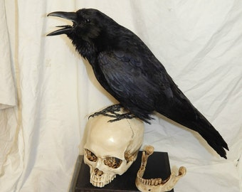 Taxidermy crow on a replica human skull