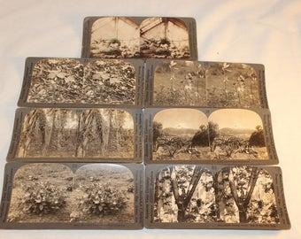 Keystone Stereoscopic Slides / Plants and Trees