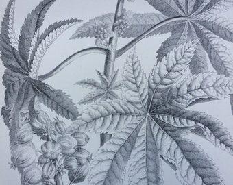 1891 Castor Oil Plan Original Antique Encyclopaedia Steel Engraving - Botanical Print - Botany - wall decor - home decor - Fine Art Print