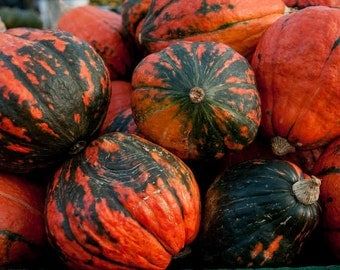 3 Plants - Lakota Winter Squash - Organic